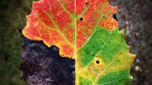 Picture of the Day - The Four Seasons Leaf