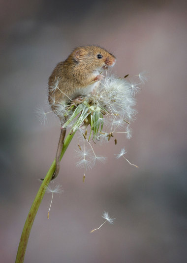 mouse on dandelion