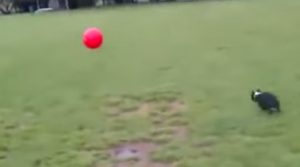 Absolutely Ridiculous Dog Playing with his New Ball