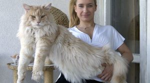 The Longest cat of the World Record - Maine Coon (16 Photos)