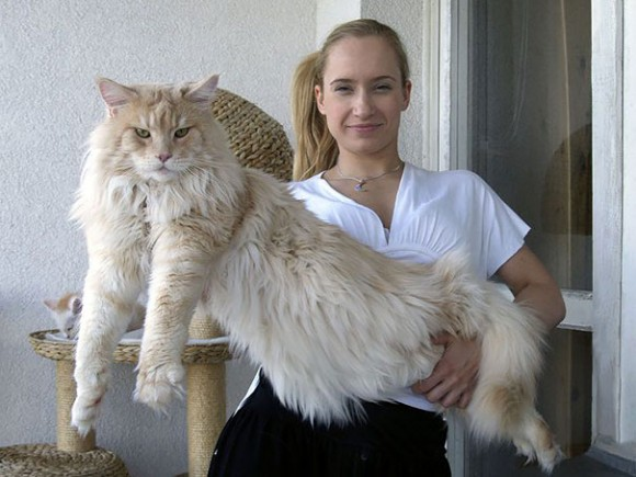 maine-coon-cats 10