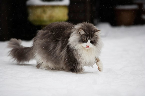 maine-coon-cats 12