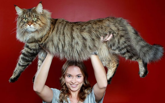 maine-coon-cats 13