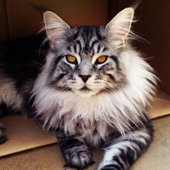 maine-coon-cats 3