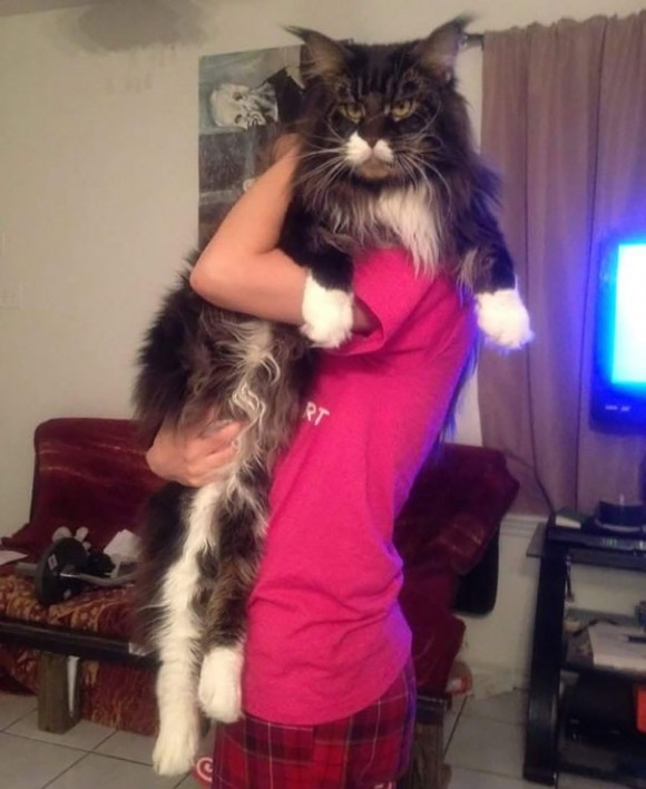 maine-coon-cats 6