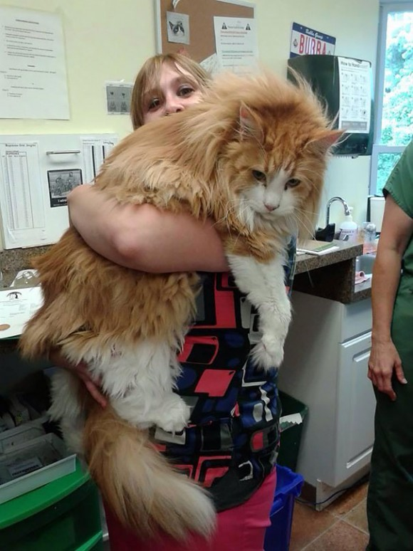 maine-coon-cats 8