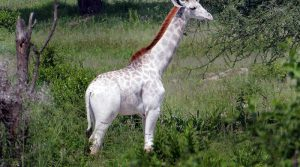 Have you ever seen a White Giraffe? Here's your chance.. its beautiful