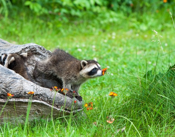 animals-smelling-flowers-6